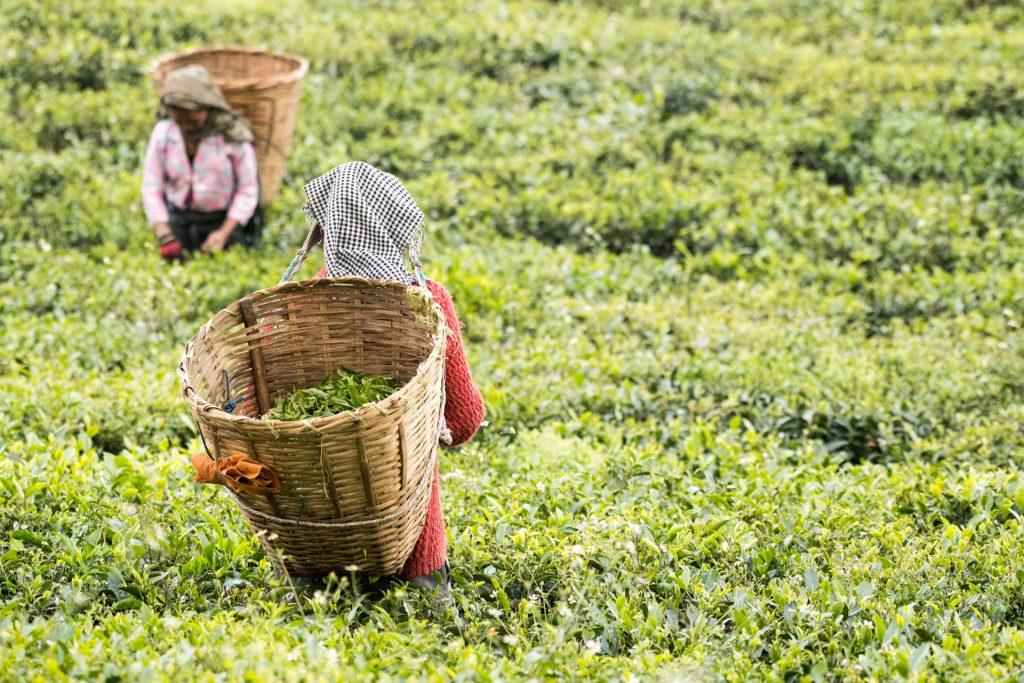 Harvesting Tea