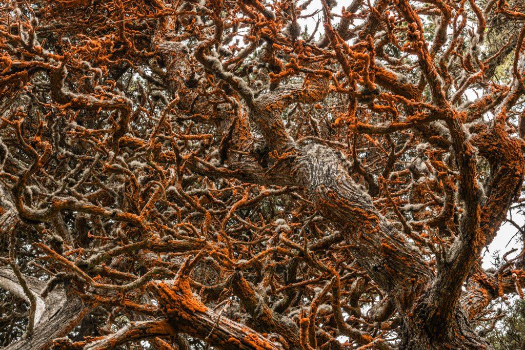 Big Sur Trees