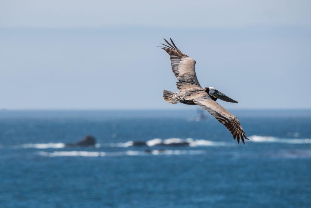Big Sur Pelican